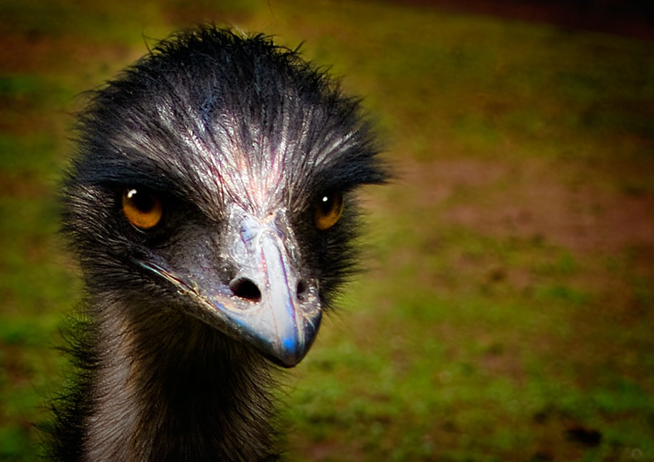 Emu_1607 - Portrait of an Emu