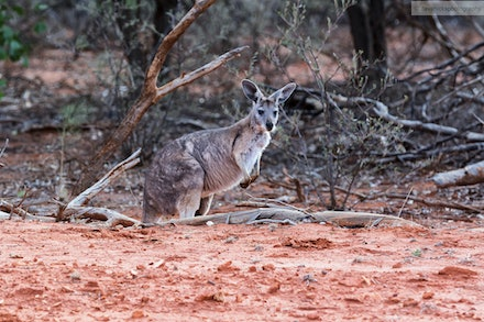 A kangaroo just off Hungerford Road in Currawinya National Park, QLD.