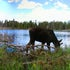 Moose Panorama_edited-1