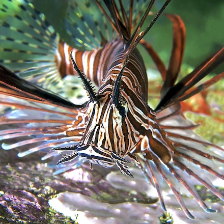 Lionfish, South West Rocks - Copyright © 2015 Melissa Fiene Photography. All rights reserved. All images created by Melissa Fiene are © Melissa Fiene Photography.