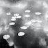 lillies  Lagoon,Darwin wetlands.