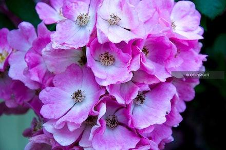 11 - Rose