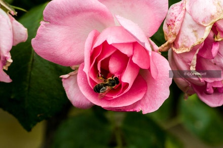 16 - Rose with bee