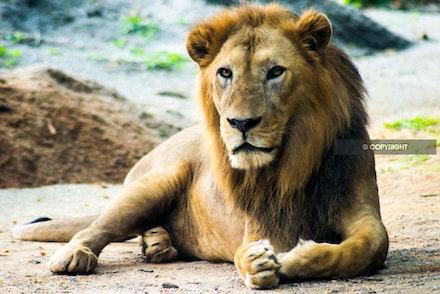 10 - Lion