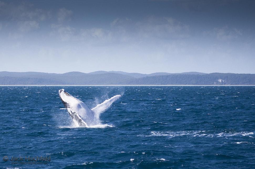 Humpback whale breaching, Hervey Bay near Fraser Island, Queensland - Humpback whale breaching, Hervey Bay near Fraser Island, Queensland
