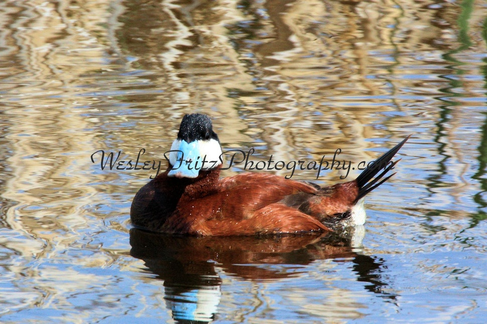 Ruddy Duck, Male 2