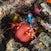 Mantis shrimp_4847