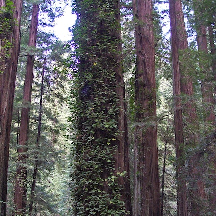 Redwoods and Vines