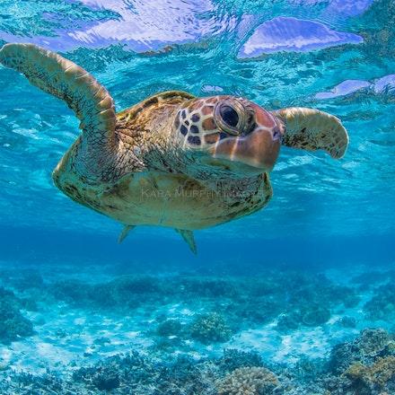 Lady Elliot turtles - Sea turtles love the underwater world off Lady Elliot Island, Great Barrier Reef, Australia.