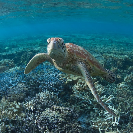 Serious turtle - A green sea turtle pauses in the underwater world off Lady Elliot Island, Queensland.