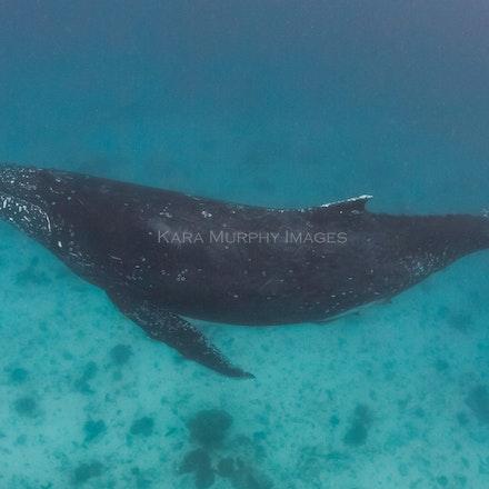 Humpback whale on LEI (July 31, 2016) - A sweet humpback whale cruises the waters off Lady Elliot Island, Australia.