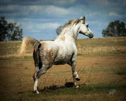 Run - Beautiful Arabian mare enjoying a gallop in the sun.