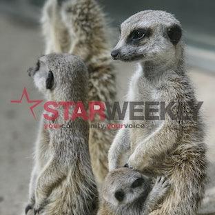 Werribee Zoo meerkat pups - Werribee Open Range Zoo received an injection of cuteness last week when two meerkat pups started venturing out of their burrow....