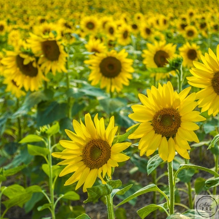 Sunflowers in Pa. - Sunflowers in Pa.