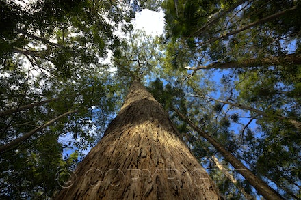 big tree - This picture was taken at the Kondalilla National Park in Queensland, the forest is beautiful and you can see some big trees