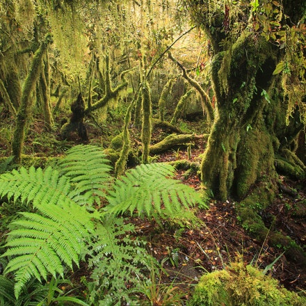 Goblin forest - Sub alpine forest Mt Taranaki