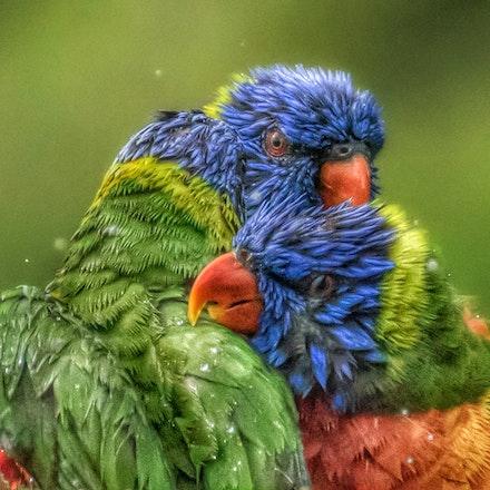 Rainbow Lorrikeet, Trichoglossus moluccanus - Rainbow Lorrikeet, Trichoglossus moluccanus, parrots,