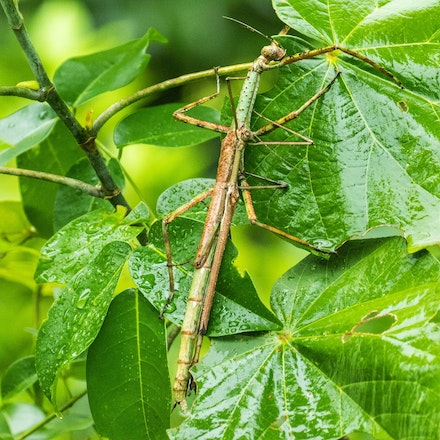 Male and female Strong stick insect Anchiale briareus - Wet tropics insects, stick insect, Male and female Strong stick insect Anchiale briareus
