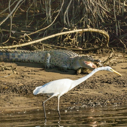 Eric and Great egret - Crocodile, wet tropics wildlife,  egrets, waders