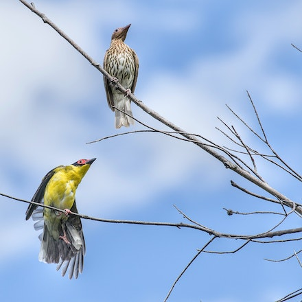 Australasian Fig Bird Sphecotheres vieilloti - Press for more images