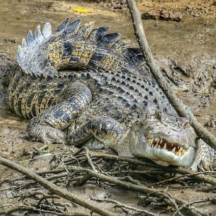 LRM_EXPORT_20180114_163106-01 - Beatrice  , salt water crocodile, Indo-pacific crocodile, Crocodylus porosus,