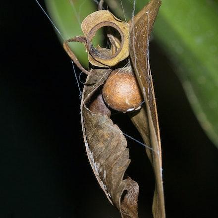 Net casting spider egg sack - Net casting spider egg sack