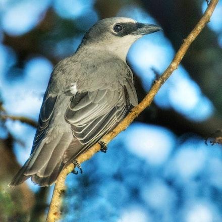 White-bellied Cuckoo-shrike , Coracina papuensis - White-bellied Cuckoo-shrike , Coracina papuensis
